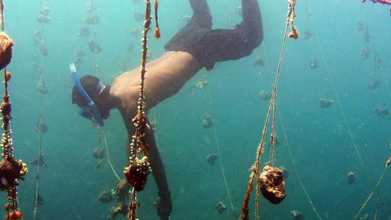 A diver harvesting the sea sponges