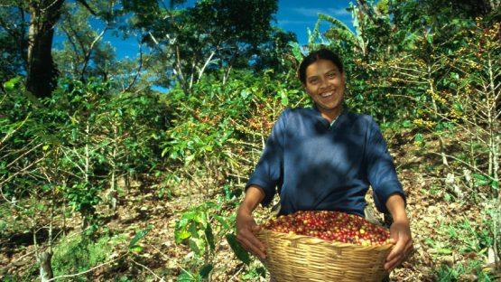 Harvesting ripe coffee beans