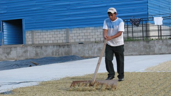 Spreading coffee out to dry in the sun