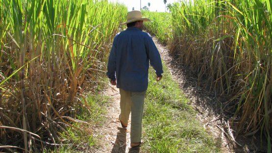 Jose Rivas inspects growing sugar cane