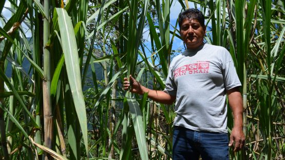 Roberto Chura with sugar canes