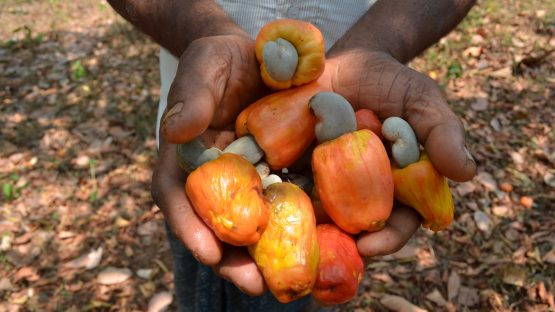 Harvested cashew nuts with the cashew apple attached