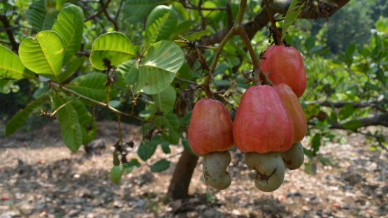 The cashew fruit and nut