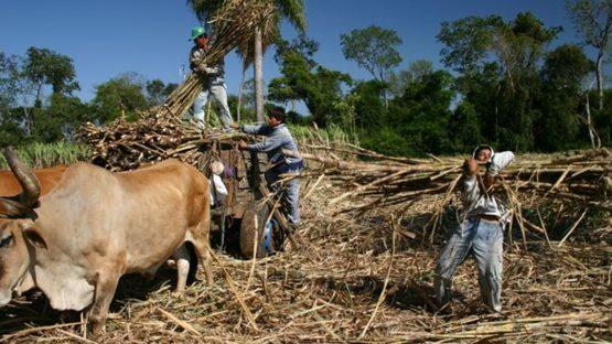 Harvesting the sugar cane