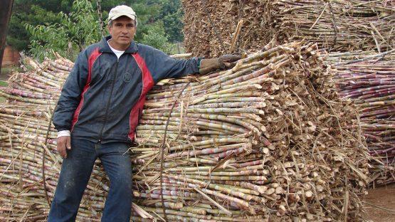 A farmer with harvested sugar cane