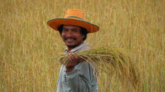 Sandith Kranchanasan harvesting rice