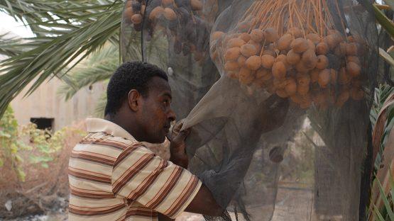 Harvesting medjoul dates