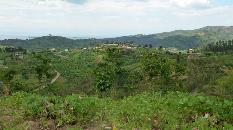 Coffee trees on the 'Ejo Heza' communal land, looking towards Lake Kivu in the distance.